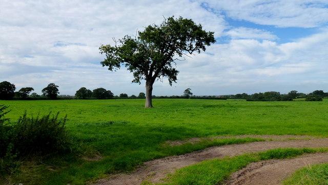Oak in pasture