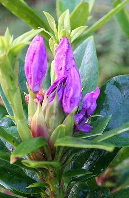 Unseasonal Rhododendron ponticum