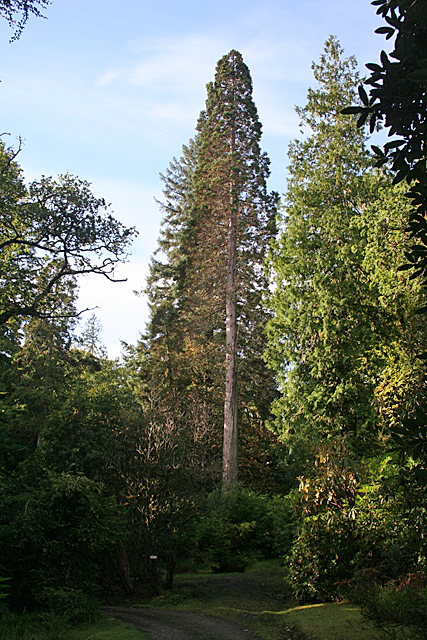 The Second-tallest Tree?