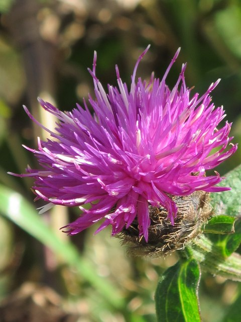 Common knapweed near Keenley lime kiln