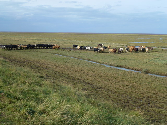 Herd of cattle on the salt marsh of The Wash