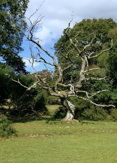 Dead oak tree at Roundhill