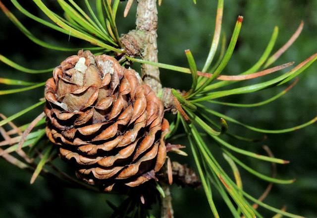 Larch cone, Belvoir forest, Belfast