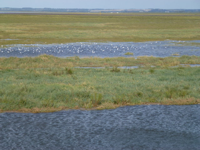 Seagulls on the salt marsh