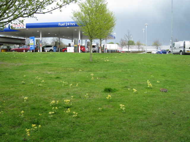 Cowslips and a rabbit by Tesco's petrol filling station