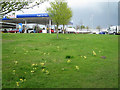 SP2965 : Cowslips and a rabbit by Tesco's petrol filling station by Robin Stott