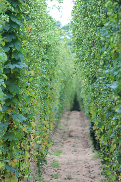 Hop row at Hoad's Farm