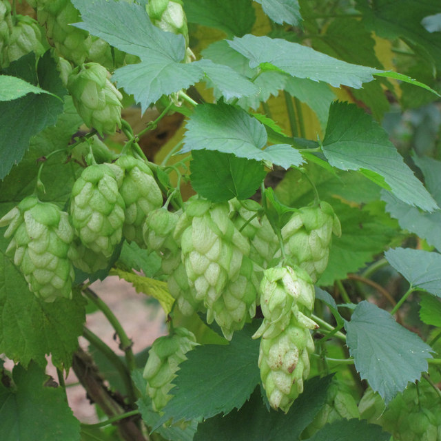 Ripe hop flower at Hoad's Farm