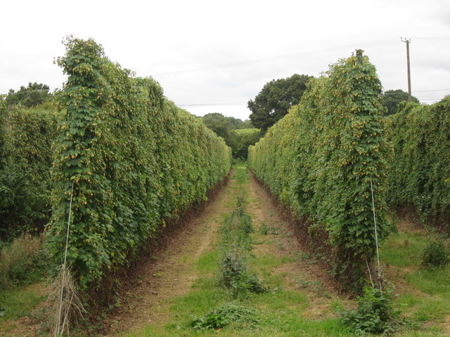 Modern hop field at Hoad's Farm