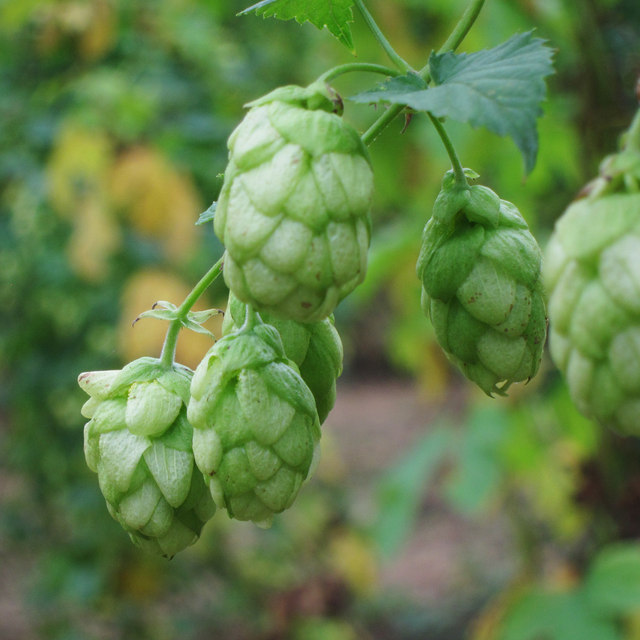 Hop flower at Hoad's Farm