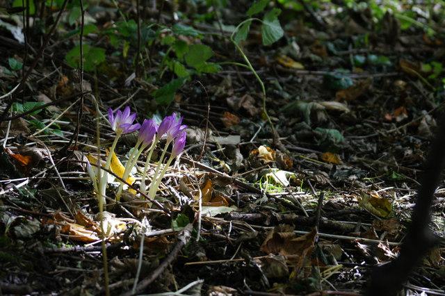 Autumn Crocus (Colchicum autumnale), Norwick