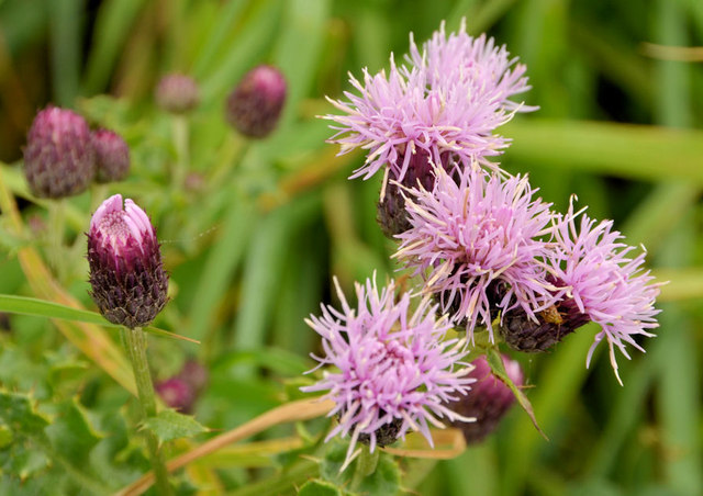 Common knapweed, Cultra