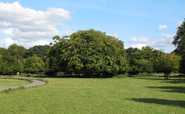 Hornbeam near the path