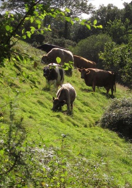 Cattle near Coomery