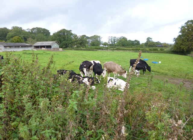 Pamphill, cattle grazing