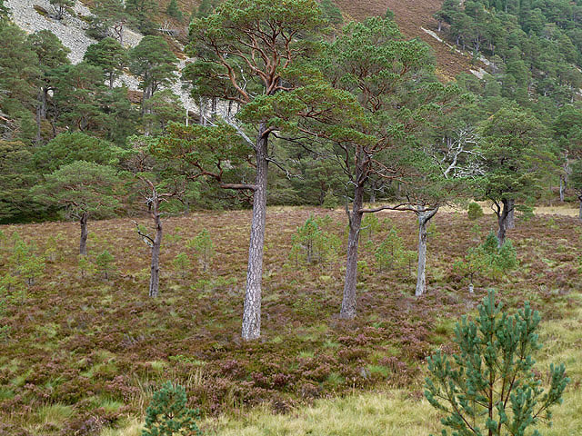 Scots pine trees in Glen More