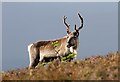 NH9711 : A reindeer at Creagan Gorm by Walter Baxter