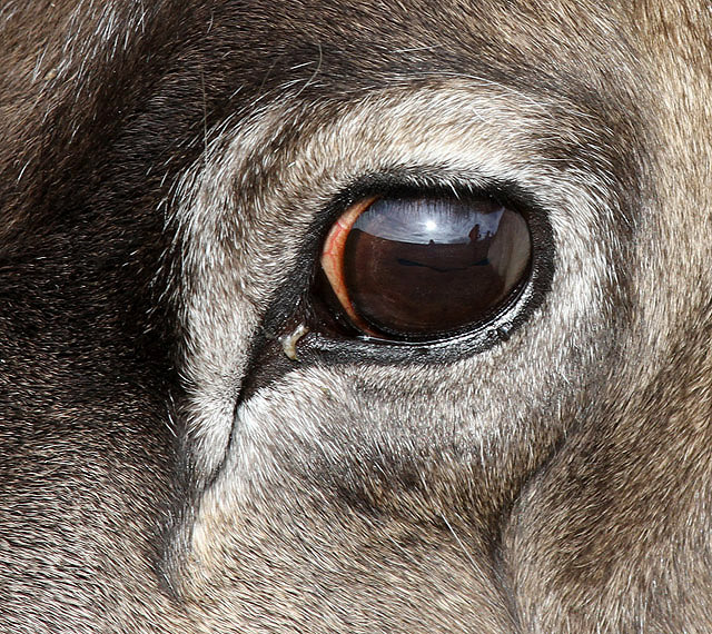 The eye of a reindeer