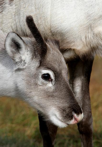 A reindeer calf