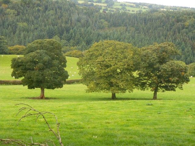 Tair derwen / Three oaks