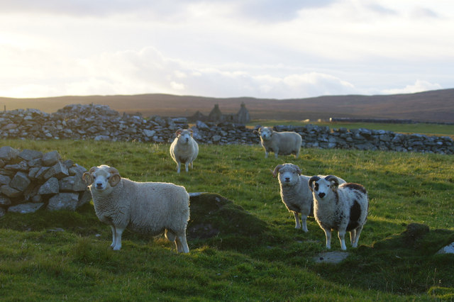 Rams at Stove, Haroldswick
