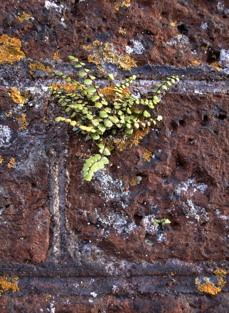 Fern growing on a wall at Ham House