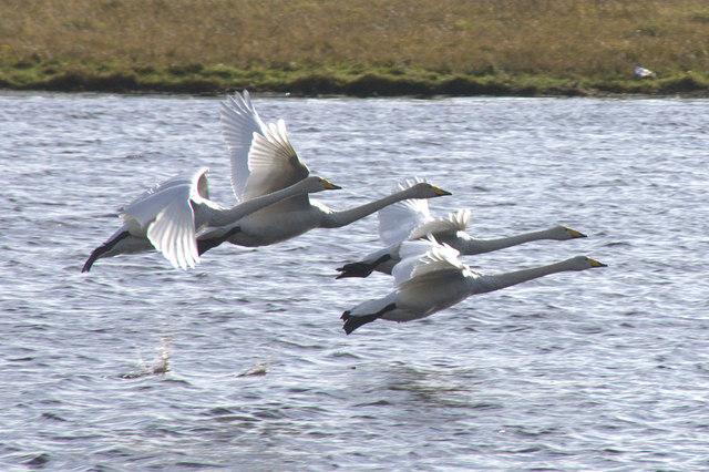 Whooper Swans (Cygnus cygnus), Loch of Clickimin, Lerwick