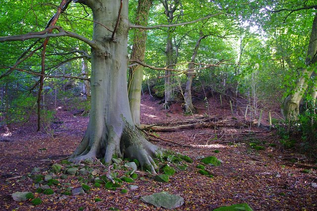 One of many fine beeches on the path by Blaen Ochran