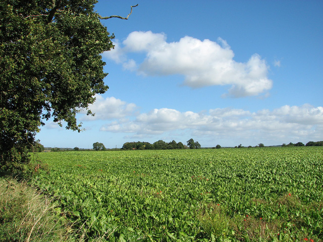 Sugar beet crop by Croxton Mill