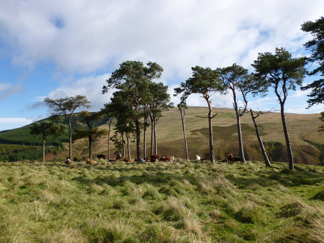 Cattle and Scots Pines on Down Hill