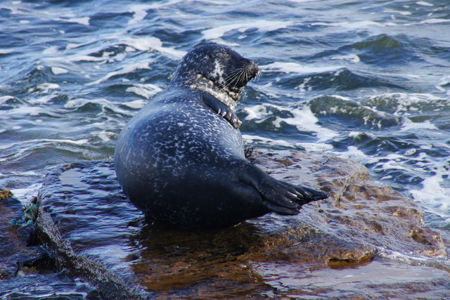 Common Seal (Phoca vitulina), North Taing, Lerwick