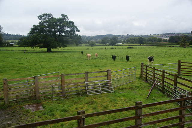 Lively young cattle at Leighton
