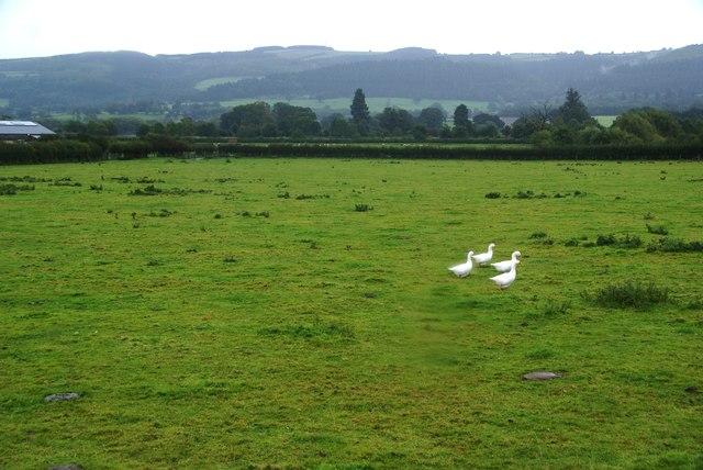 Geese at Coed y Dinas