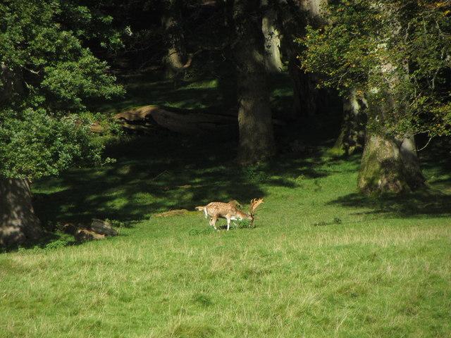 Red deer in Dinefwr Deer Park