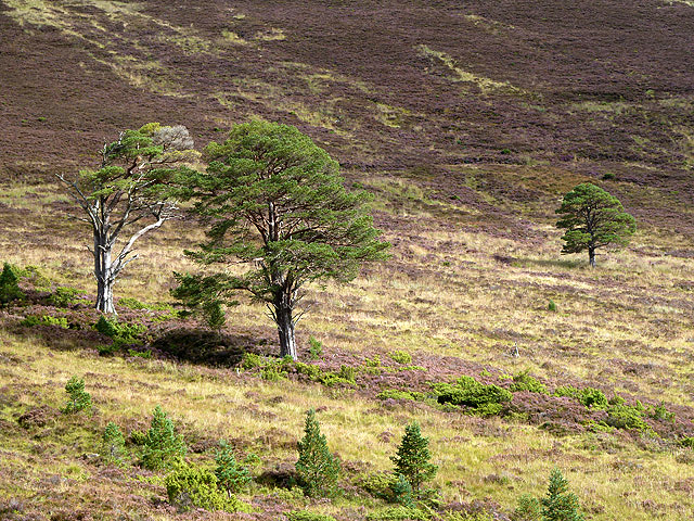 Scots pines and heather