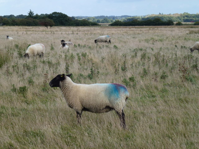 Double tupped sheep at Shepherd's Port, Snettisham