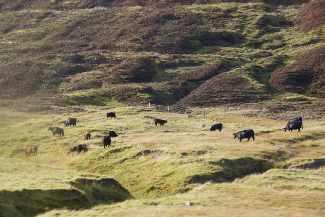 Cattle at Dales Lees