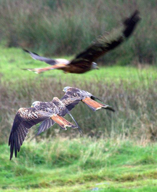 Feeding the Kites, Gigrin Farm, Rhayader, Powys