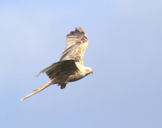 Red Kite in Flight, Gigrin Farm, Rhayader, Powys