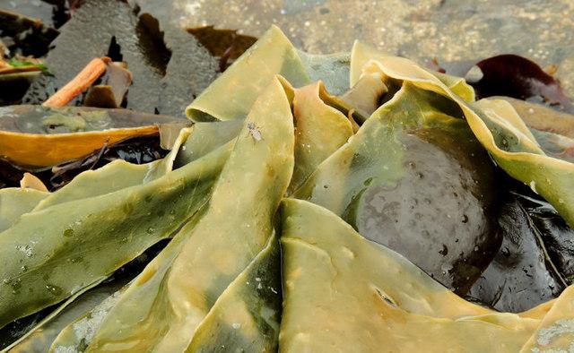 Seaweed, Cultra (4)