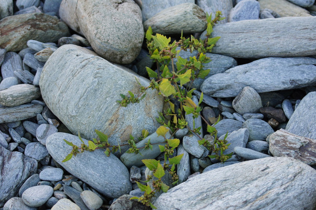 Orache (Atriplex sp.), Norwick