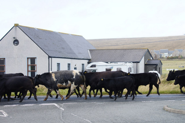 Moving cattle, Baltasound