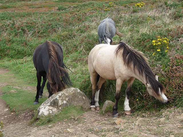 Ponies near St David's Head