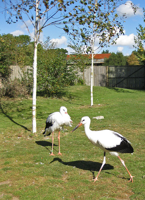 Storks strutting their stuff