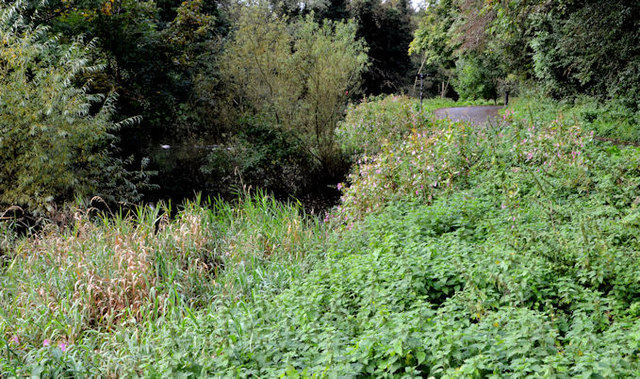 The overgrown Lagan canal, Belfast (2)