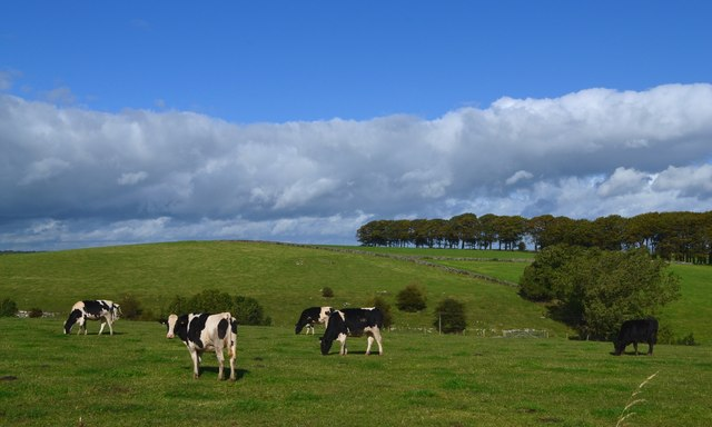 Cattle grazing west of Pikehall