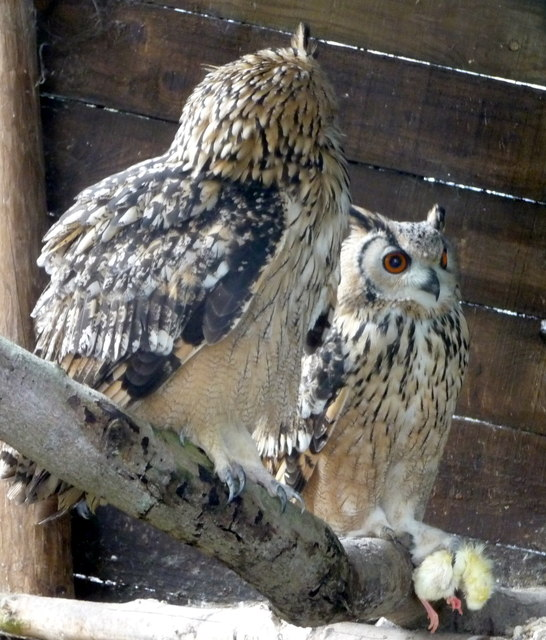 Going Courting - Eagle Owls Feeding on Chick at Small Breeds Farm and Owl Centre, Kington, Herefordshire