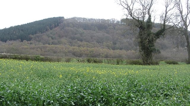 Oilseed rape, Hope Dale
