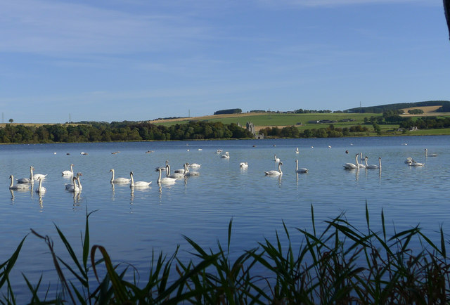 Swans on the Loch of Skene