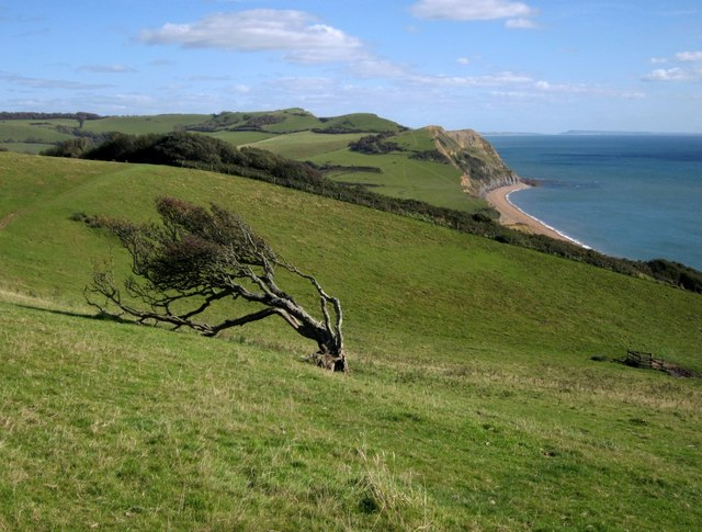 Wind-shaped tree below Langdon Hill